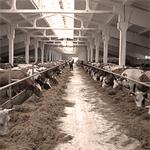 Увеличение производственных мощностей на молочно-товарном комплексе КРС, ОАО «Пермский свинокомплекс»